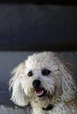 собака покрашенная bologna Стоковые Изображения RF