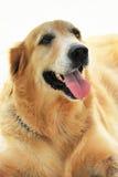 собака полная страстного желания Стоковые Фотографии RF