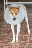 Собака положила воротник потому что блефарит стоковая фотография