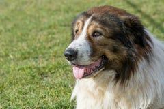 Собака попечителя чабана горы Karakachan Селективный фокус дальше Стоковое Фото