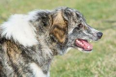 Собака попечителя чабана горы Karakachan Селективный фокус дальше Стоковые Фото