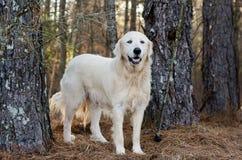 Собака попечителя поголовья больших Пиренеи Стоковая Фотография