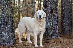 Собака попечителя поголовья больших Пиренеи Стоковые Фотографии RF