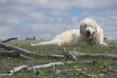 Собака попечителя поголовья Стоковое фото RF