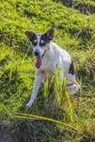 Собака популярно известная как остолопы стоковая фотография