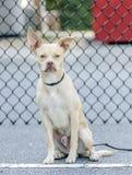 Собака породы Бостона чихуахуа смешанная терьером Стоковое Изображение