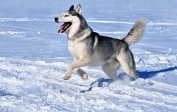Собака породы сибирской лайки бежит через снег стоковое фото rf