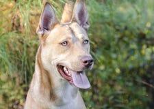 Собака породы сибирской лайки гончей фараона смешанная Стоковая Фотография RF