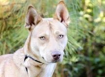 Собака породы сибирской лайки гончей фараона смешанная Стоковое фото RF