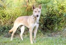 Собака породы сибирской лайки гончей фараона смешанная Стоковые Фотографии RF