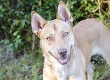 Собака породы сибирской лайки гончей фараона смешанная Стоковая Фотография