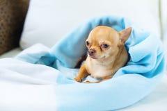 Собака породы софы милого doggy чихуахуа сидя мини стоковые изображения