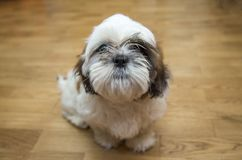 Собака породы щенка tzu Shih крошечная, стареет 6 месяцев, шаловливость, loveli Стоковое Фото