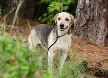 Собака породы бигля смешанная гончей Стоковые Фото