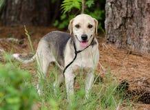 Собака породы бигля смешанная гончей Стоковые Фотографии RF