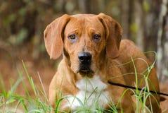 Собака породы гончей выхода пластов бигля смешанная Стоковая Фотография RF