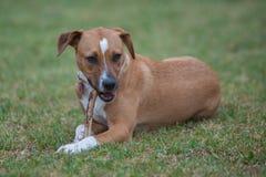 Собака породы смешивания лежа в траве Стоковое Изображение