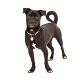 Собака породы среднего размера смешанная Стоковое Изображение