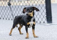 Собака породы чихуахуа Chiweenie смешанная таксой Стоковое Изображение RF