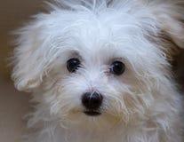 Собака породы щенка tzu Shih крошечная Стоковое Изображение