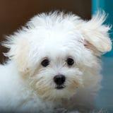 Собака породы щенка tzu Shih крошечная Стоковое Фото