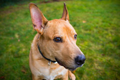 Собака породы Pitbull смешанная лабораторией Стоковая Фотография RF