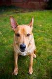 Собака породы Pitbull смешанная лабораторией Стоковое фото RF