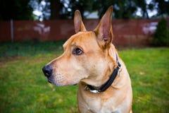 Собака породы Pitbull смешанная лабораторией Стоковые Фотографии RF