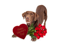 Собака поставки подарка дня валентинки шоколада Стоковое Изображение RF