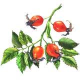Собака подняла, ветвь при изолированные ягоды, briar, иллюстрация плода шиповника акварели Стоковые Изображения RF