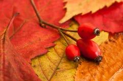 Собака подняла на осенние листья Стоковые Изображения RF