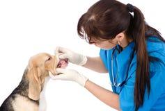 Собака получая зубы расмотренный ветеринаром Изолировано на белизне стоковые изображения