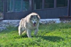 Собака предохранителя, порода malamute половинная, на Cheile Gradistei, Fundata, Румыния стоковые изображения