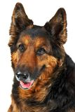 собака предпосылки изолировала longwooled белизну Стоковые Фото