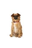 собака предпосылки коричневая сидя малая белизна Стоковые Фотографии RF