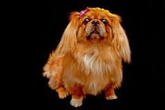 собака предпосылки черная pekingese Стоковое Изображение RF