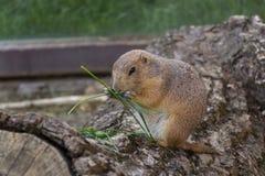 Собака прерии ест черенок зеленой травы на стволе дерева Стоковое фото RF