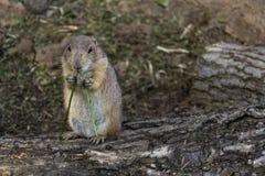 Собака прерии ест черенок зеленой травы на стволе дерева Стоковое Изображение