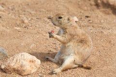 Собака прерии сидя в еде грязи Стоковые Фото