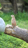 Собака прерии Lillte на дереве Стоковое фото RF