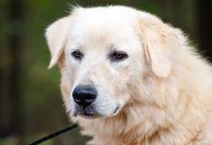 Собака предохранителя поголовья больших Пиренеи Стоковая Фотография