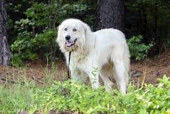 Собака предохранителя поголовья больших Пиренеи Стоковая Фотография RF