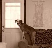 Собака предохранителя Стоковое Фото