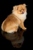 собака предпосылки черная Стоковая Фотография RF