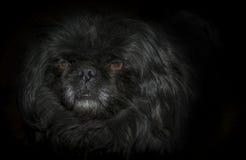 собака предпосылки черная Стоковые Фотографии RF
