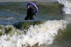 Собака принимает пулер и заплыв в море стоковые изображения rf