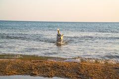 Собака приходит из моря вечер Заход солнца Стоковая Фотография