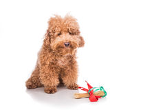 Собака при косточка подарка рождества обернутая в ленте Стоковые Изображения