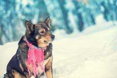 Собака при связанный шарф связанный вокруг шеи стоковая фотография