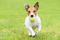 Собака при смешные уши бежать с шариком Стоковые Изображения RF